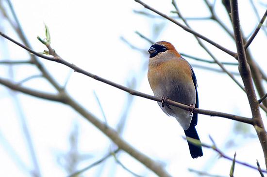 finches birds india